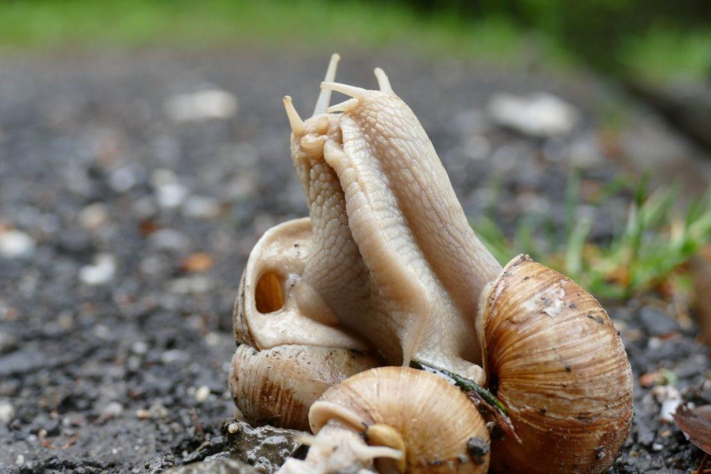 La imagen tiene un atributo ALT vacío; su nombre de archivo es snail_copulation_pairing_shell_mollusk-607025-1024x683.jpg